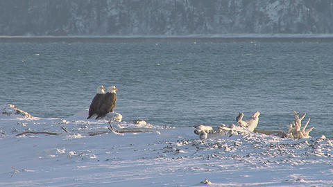Two bald eagles perched on log on snowy shore Live Action