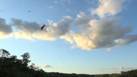 Vultures soaring against beautiful evening sky Live Action