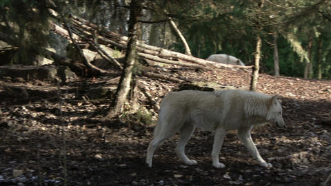 Wolf walks alone in the forest Footage
