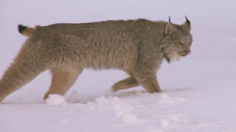 Wild alaskan lynx walking through snow covered woods Live Action