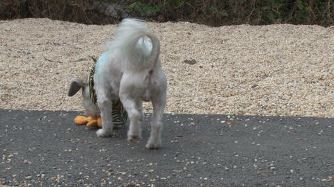 White puppy playing with garfield toy at animal shelter Live Action