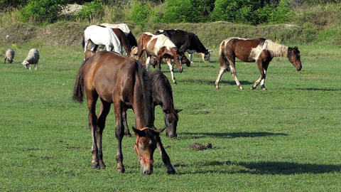 Herd of white and brown horses graze grass on a lawn in slo-mo Live Action