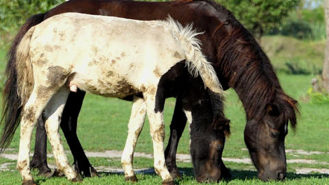 A black mare with a white foal graze grass together in slo-mo Footage