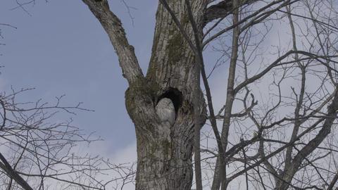 Ural Owl at Hokkaido, Japan ビデオ