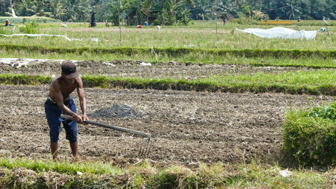 Old man plowing on land, Bali, Indonesia Live Action