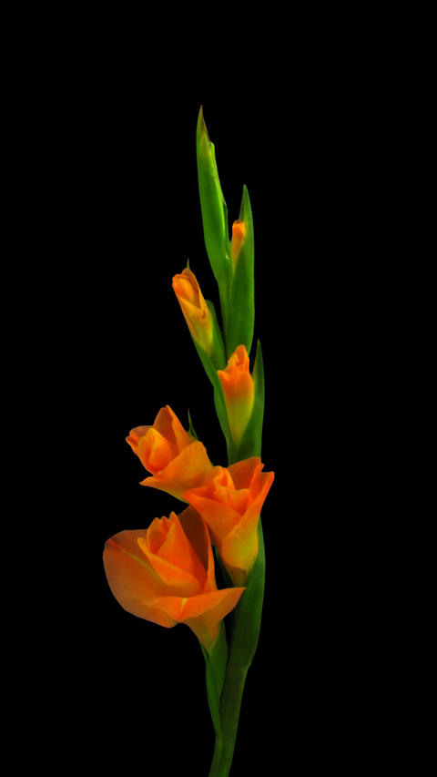 Time-lapse of opening orange gladiolus flower with ALPHA channel, vertical Footage
