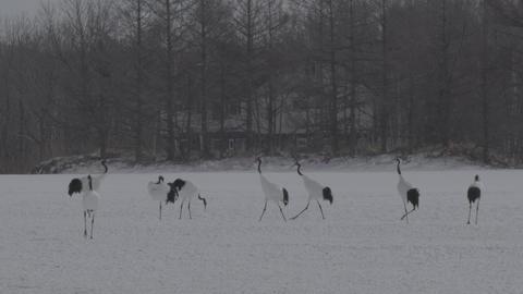 Grus japonensis at Hokkaido, Japan ビデオ