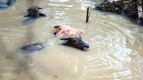 Wildlife viedo Buffalo dip in water or swimming in the Canal, and the cleaning Footage