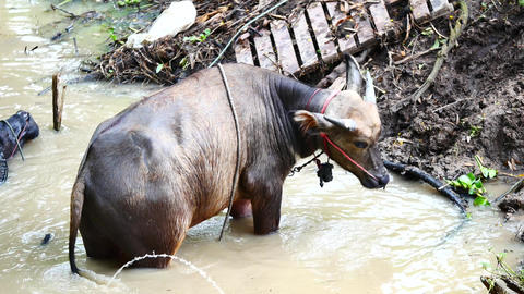 Wildlife viedo Buffalo dip in water or swimming in the Canal, and the cleaning Live Action