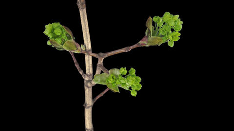 Time-lapse of growing maple tree branch, with ALPHA channel Footage