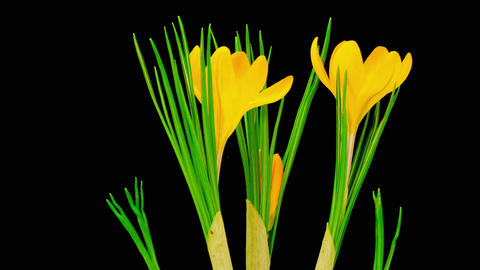Yellow Crocus Flower Blooming Footage