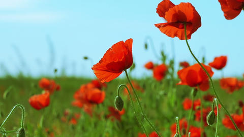 Poppy Field on a Sunny Day Footage