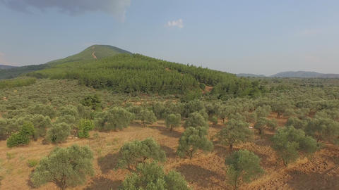 Olive Trees at the Edge of the Hill Footage