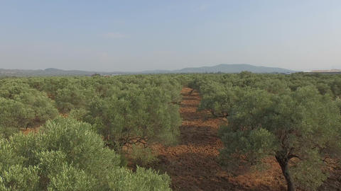 Flying Above Olive Trees stock footage