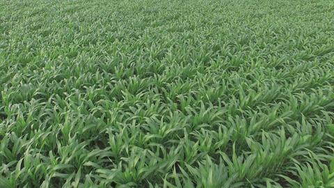 Green Cornfield stock footage
