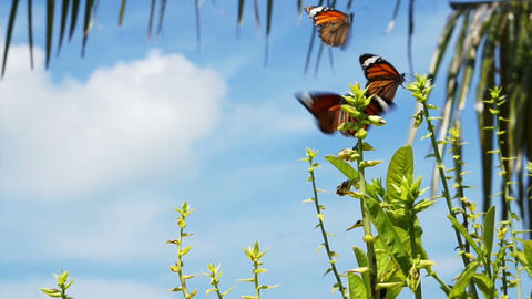 Two Monarch Butterflies around the plants Footage