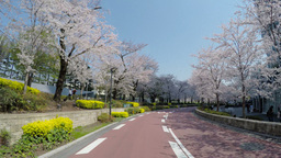 Blooming cherry blossoms and crowd gathering at Roppongi Midtown ビデオ