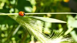Ladybird beetles resting on a leaf in spring Footage