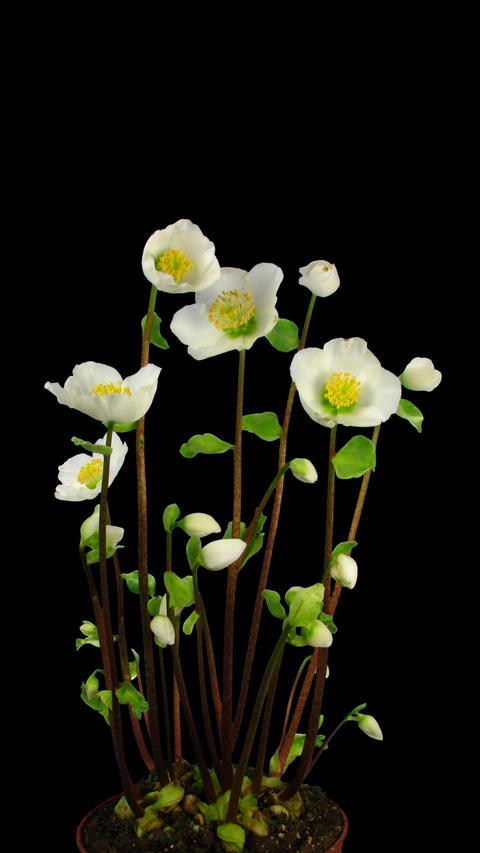 Time-lapse growing and opening Helleborus Christmas rose with ALPHA channel, Footage