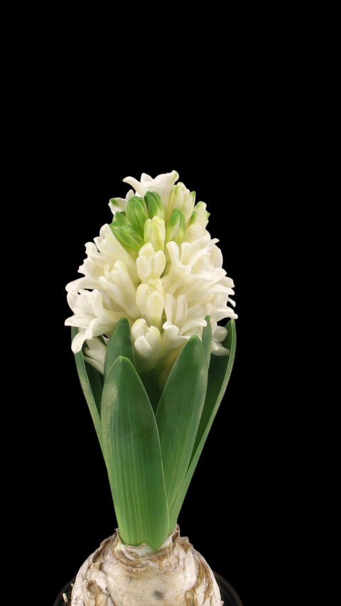 Time-lapse of growing white hyacinth Christmas flower with ALPHA channel, Footage