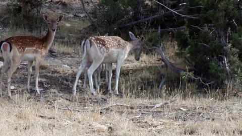 Follow deer family Footage