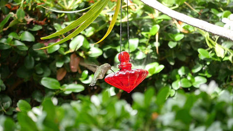 Video of real Humming Bird in slow motion Footage