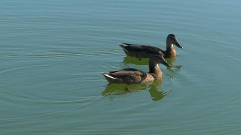 A pair of brown ducks swim in lake waters in slo-mo Footage