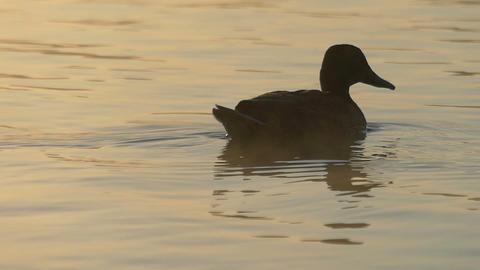 A brown duck swims and seeks food in a lake at sunset in slo-mo Live Action