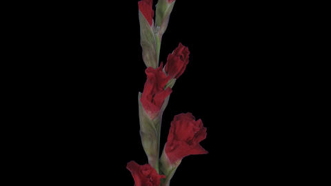 Time-lapse of opening red gladiolus flower with ALPHA channel Footage