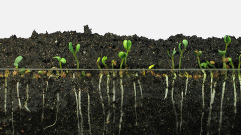 Time-lapse of growing alfalfa vegetables and roots with ALPHA channel Footage