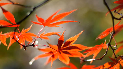 colorful maple leaves with beautiful light and bokeh in park waving by wind ライブ動画