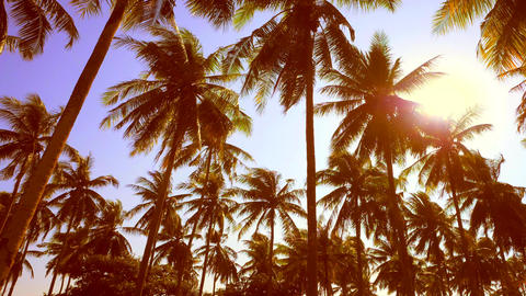 Coconut Palm Trees Against Bright Sunset at Plantation on Tropical Island Footage