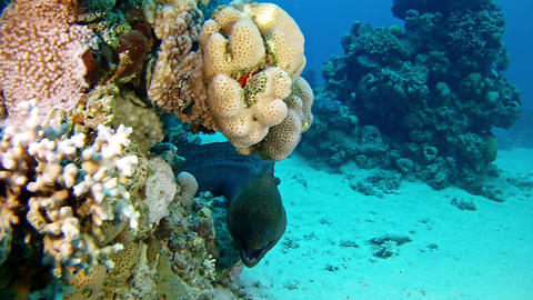 Marine wildlife Moray eel in a cpral reef Live Action