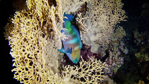 Parrot fish sleeping in a coral - Red Sea marine life Footage