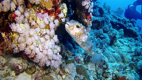 Underwater landscape Tamboril fish scuba diving in the Red Sea Image