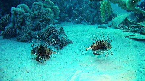 Marine Red Sea life - Two lionfishes in a wreck Live Action
