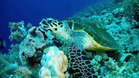 Sea turtle in the Red Sea - Marine sea life Live Action