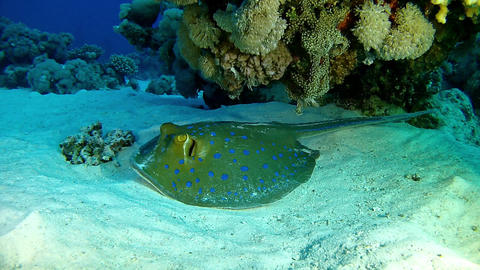 Scuba diving bluspotted stingray Live Action