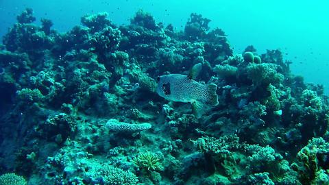 Marine life in the Red Sea - Tamboril fish Footage