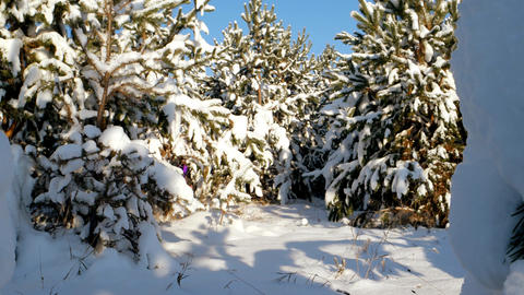 The girl is not touched by the snow among the pines. It takes next to the camera Footage