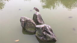 Black crowned Night Heron sitting on a rock with turtles swimming Footage