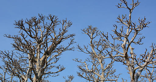 Lifeless Trunks and Branches of Trees against a Blue Sky Footage