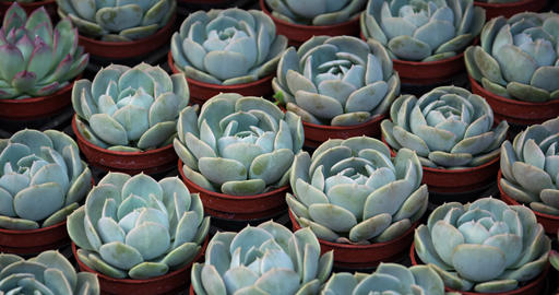 Dozens of potted Hen and Chicks Plants at a Garden Shop GIF