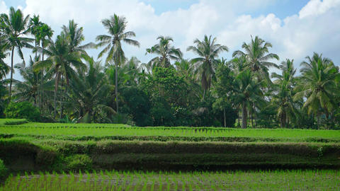 Palm Trees over a Rice Plantation in Bali. Indonesia GIF