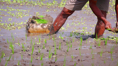 Local Laborer Planting Rice in Sticky Mud in Bali. Indonesia Live Action