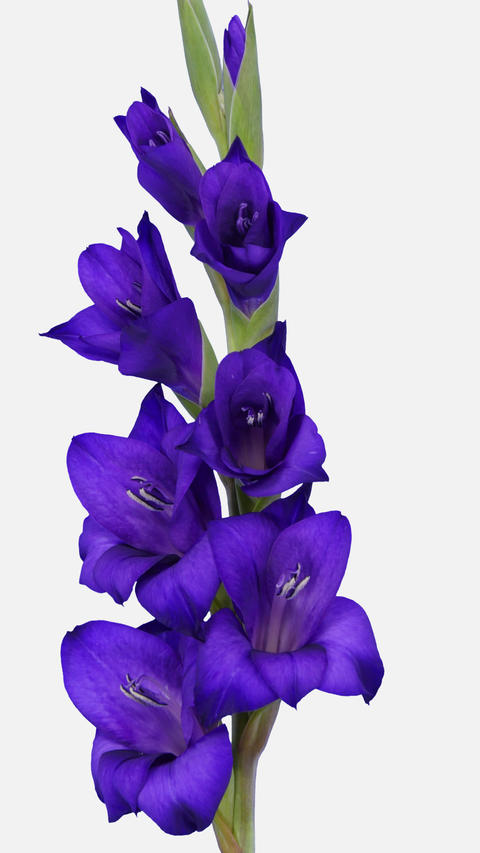 Time-lapse of opening purple gladiolus flower with ALPHA channel, vertical Footage