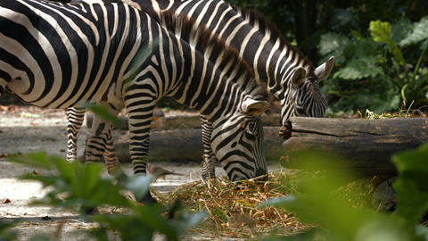 Pair of Zebras Grazing at the Zoo Live Action