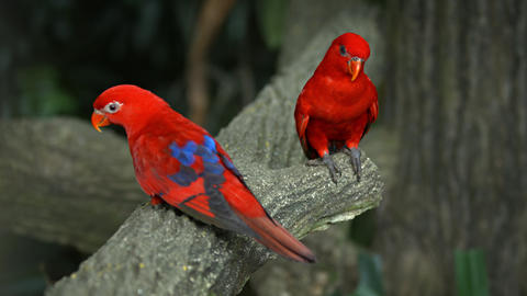 Pair of Beautiful Red Lorikeets at the Zoo Footage