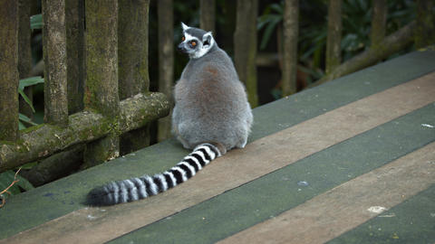 Mature Ring Tailed Lemur Sitting on a Wooden Deck GIF