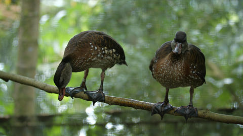 Pair of Bown Ducks Perched on a Tree Branch GIF